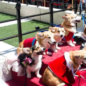 Why These Corgis Were Dressed Like the British Royal Family